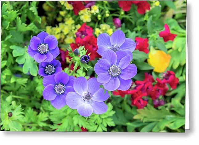 Poppy-flowered Anemone, Usa Greeting Card