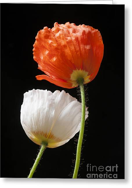 Poppy Flowers On Black Greeting Card