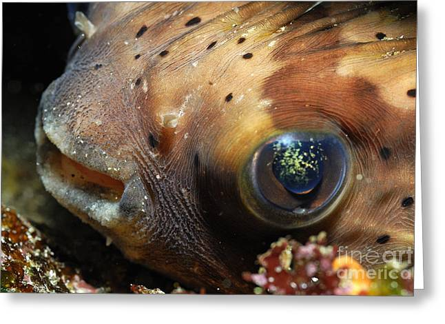 Porcupine Fish Greeting Card