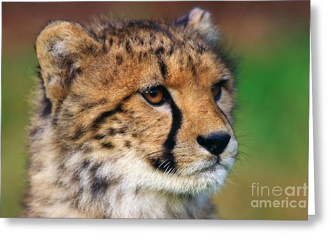 Greeting Card featuring the photograph Portrait Of A Cheetah Cub by Nick  Biemans