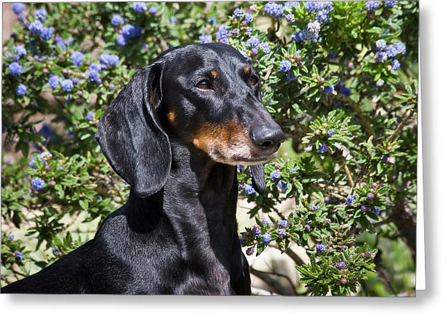 Portrait Of A Dachshund Standing Greeting Card by Zandria Muench Beraldo