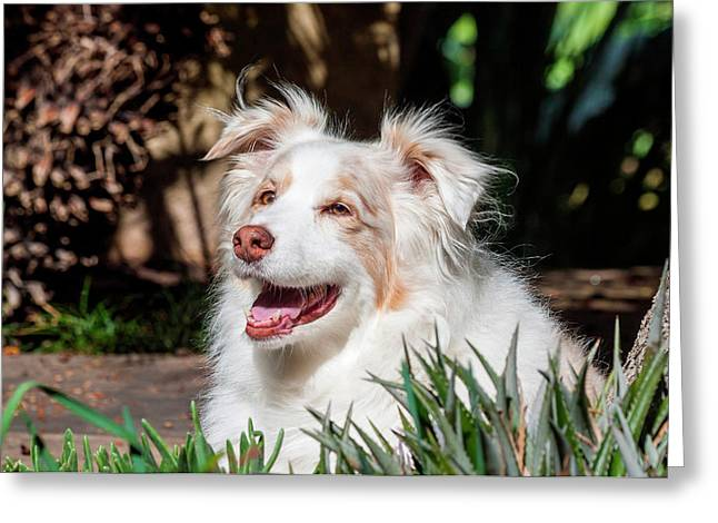 Portrait Of An Australian Shepherd Greeting Card