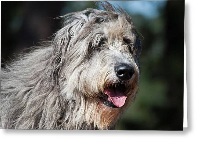 Portrait Of An Irish Wolfhound Greeting Card