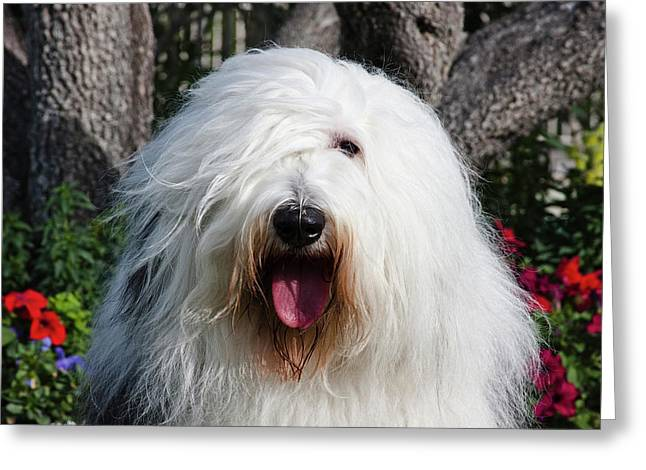 Portrait Of An Old English Sheepdog Greeting Card