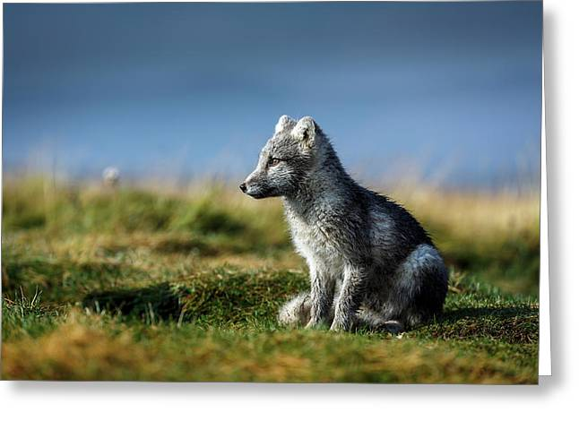 Portrait Of Arctic Fox, Alopex Lagopus Greeting Card