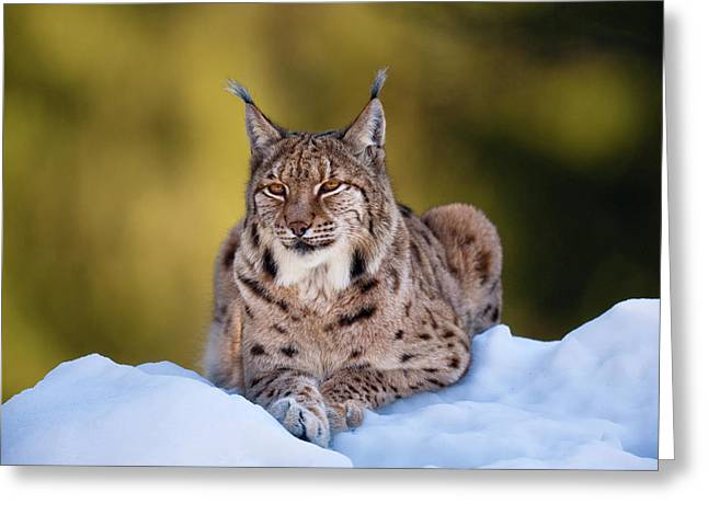Portrait Of Eurasian Lynx (lynx Lynx Greeting Card by Martin Zwick