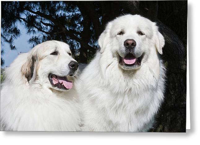 Portrait Of Two Great Pyrenees Together Greeting Card by Zandria Muench Beraldo