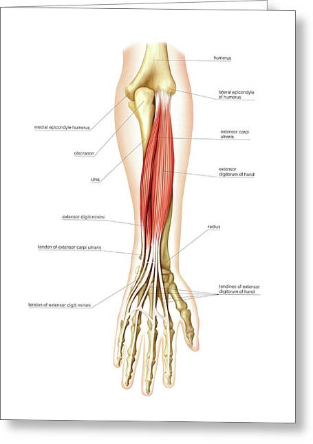 Posterior Muscles Of Forearm Greeting Card by Asklepios Medical Atlas
