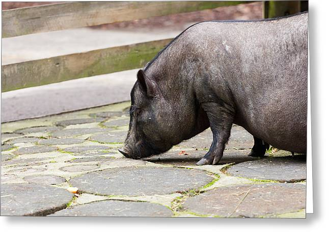Potbelly Pig Greeting Card by Pati Photography