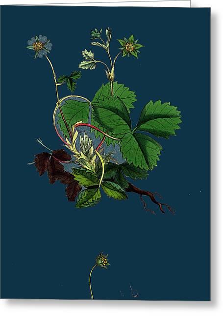 Potentilla Fragariastrum Barren Strawberry Greeting Card by English School