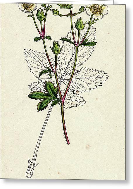 Potentilla Rupestris Strawberry-flowered Cinquefoil Greeting Card