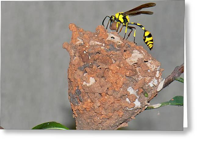 Potter Wasp With Nest Greeting Card by K Jayaram