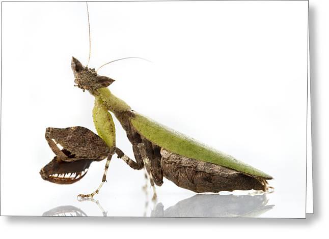 Praying Mantis Gorongosa Mozambique Greeting Card by Piotr Naskrecki