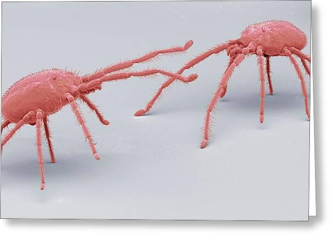 Predatory Mites Greeting Card by Steve Gschmeissner