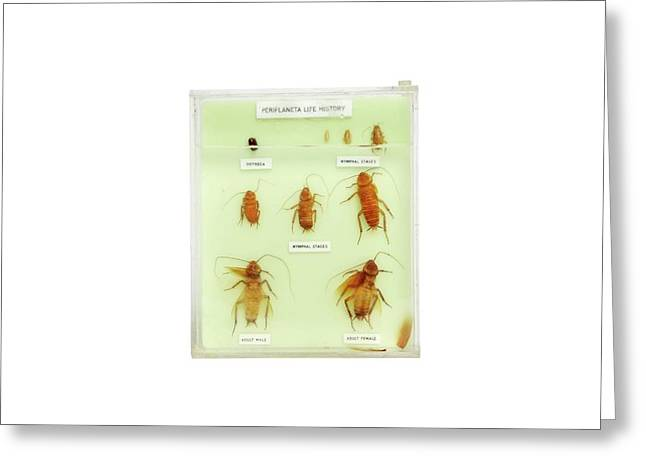 Preserved Cockroach Life Cycle Greeting Card by Gregory Davies