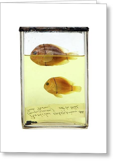 Preserved Fish Greeting Card