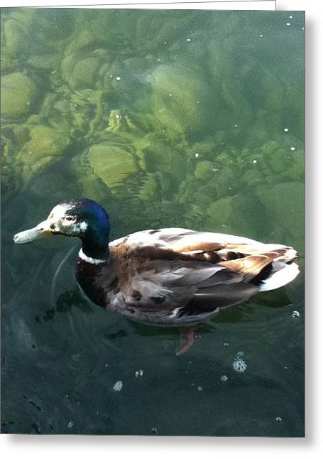 Pretty  Duck Greeting Card by Deb Groesbeck