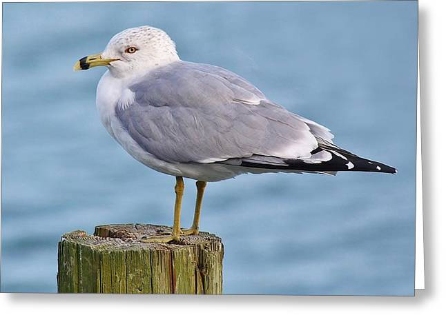 Pretty Sea Gull Greeting Card by Paulette Thomas