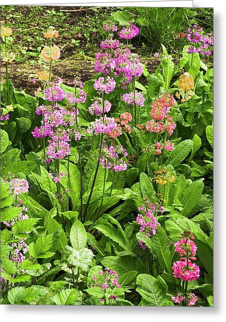 Primula 'harlow Carr Hybrids' Flowers Greeting Card by Adrian Thomas