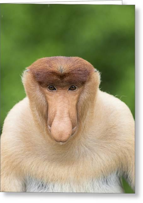 Proboscis Monkey Dominant Male Sabah Greeting Card by Suzi Eszterhas