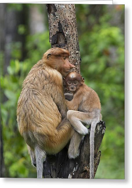 Proboscis Monkey Mother And Three Month Greeting Card by Suzi Eszterhas