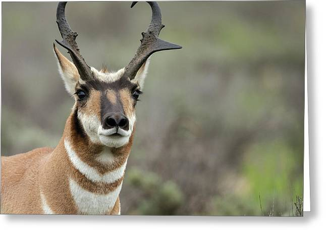 Pronghorn Buck Showing Territorial Greeting Card