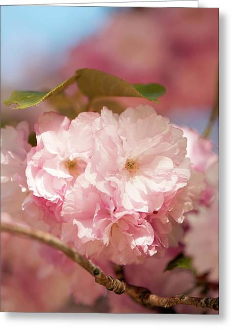 Prunus Serrulata 'kanzan' Greeting Card by Maria Mosolova
