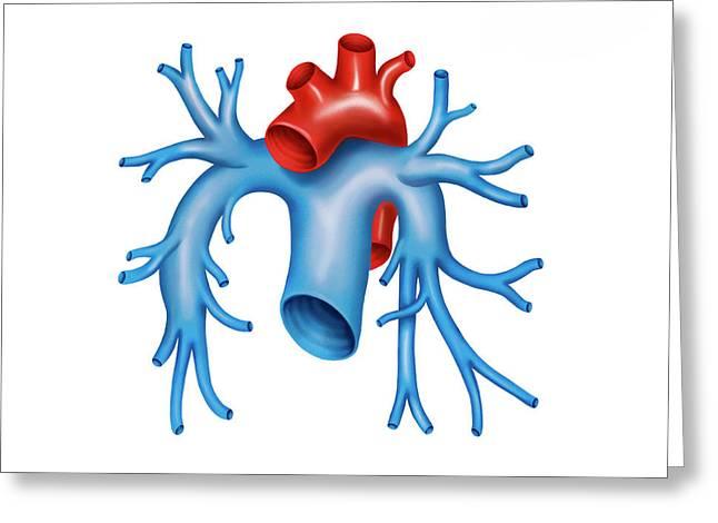 Pulmonary Arteries Greeting Card