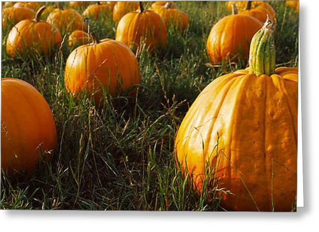 Pumpkin Field, Half Moon Bay Greeting Card by Panoramic Images