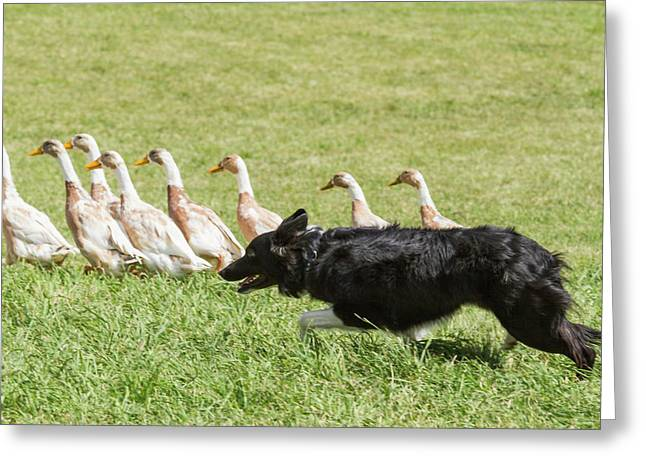 Purebred Border Collie Herding Ducks Greeting Card by Piperanne Worcester