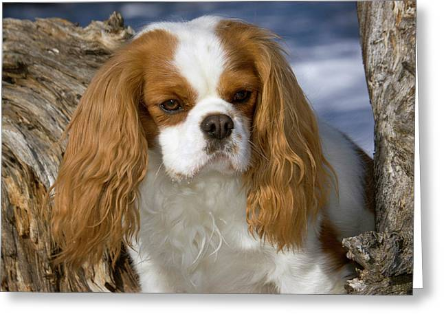 Purebred Cavalier King Charles Spaniel Greeting Card by Piperanne Worcester