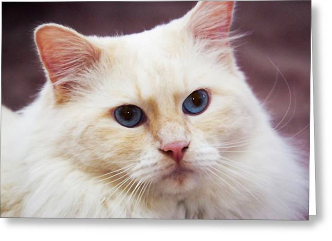 Purebred Rag Doll Cat, Flame Point Greeting Card by Piperanne Worcester