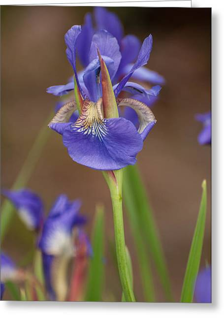 Greeting Card featuring the photograph Purple Bearded Iris by Brenda Jacobs