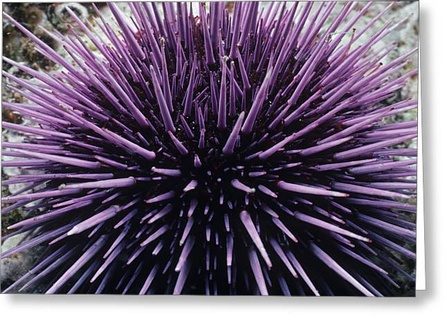 Purple Sea Urchin Greeting Card by Jeff Rotman