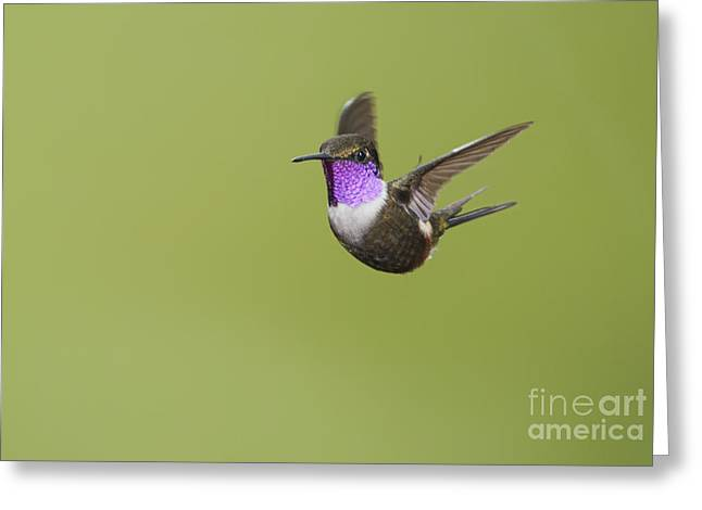 Purple-throated Woodstar Hummingbird Greeting Card by Dan Suzio