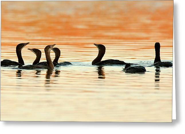 Pygmy Cormorant (microcarbo Pygmeus) Greeting Card by Photostock-israel