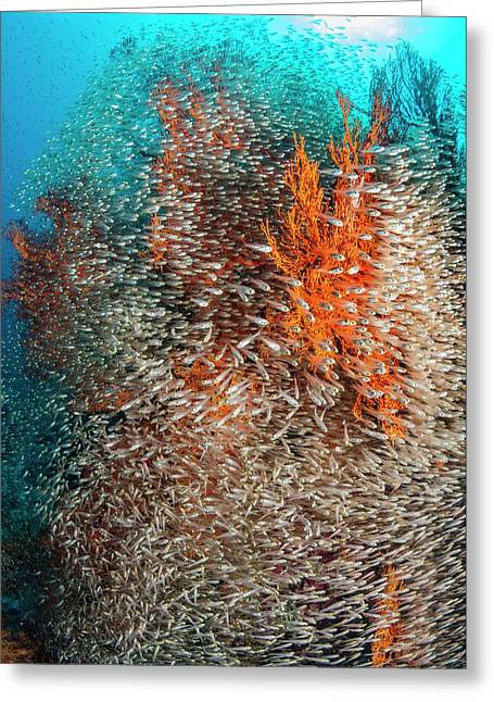 Pygmy Sweepers And Gorgonian Sea Fans Greeting Card