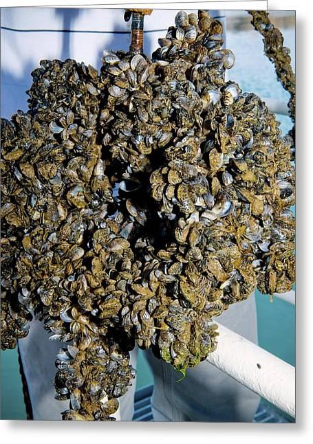 Quagga Mussels Greeting Card
