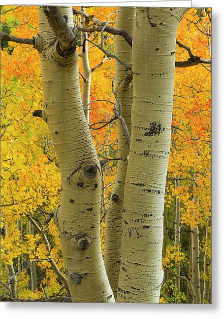 Quaking Aspen In Full Color, Populus Greeting Card by Maresa Pryor