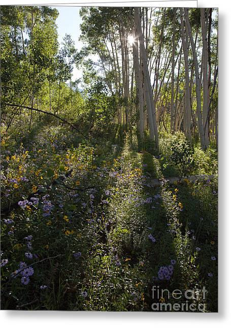 Quaking Aspen Woodland Greeting Card by Greg Dimijian