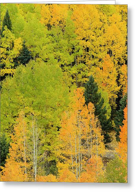 Quaking Aspens In A Fall Glow Greeting Card by Maresa Pryor