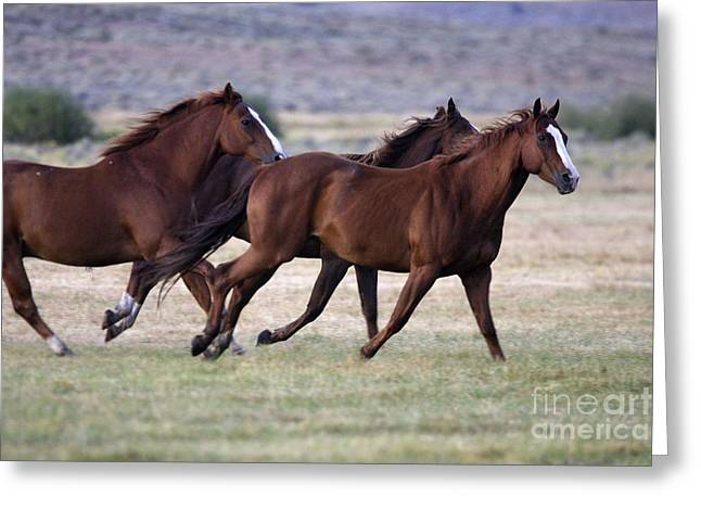 Quarter Or Paint Horses Greeting Card by M. Watson