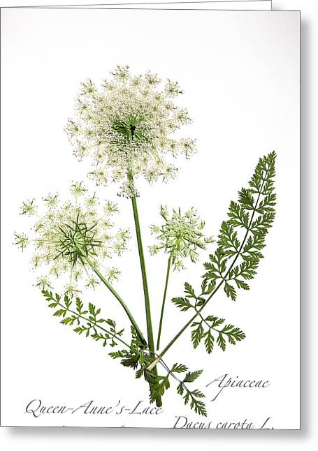 Queen-anne's-lace 2 Greeting Card