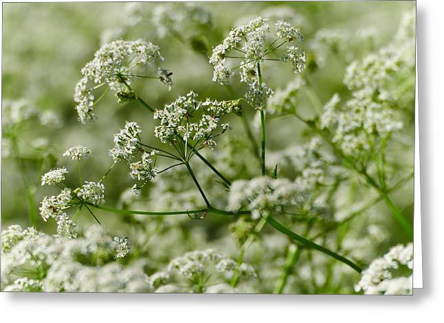 Queen Annes Lace Greeting Card
