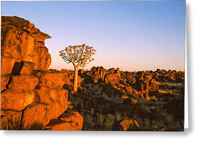 Quiver Tree Aloe Dichotoma Growing Greeting Card by Panoramic Images