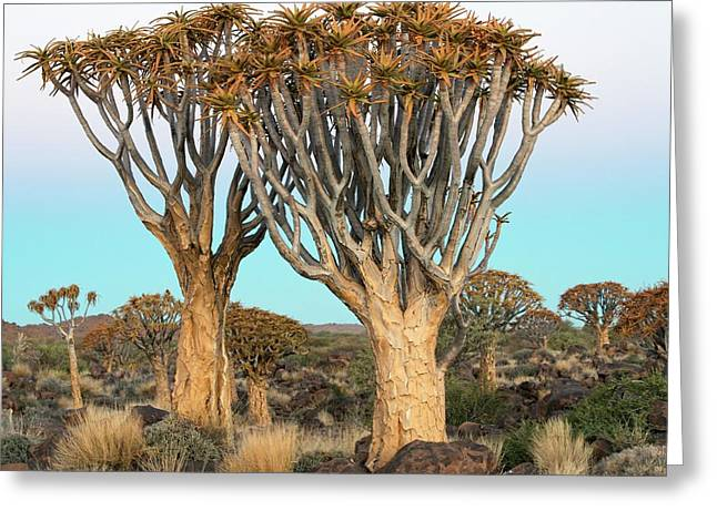 Quiver Trees Greeting Card by Tony Camacho