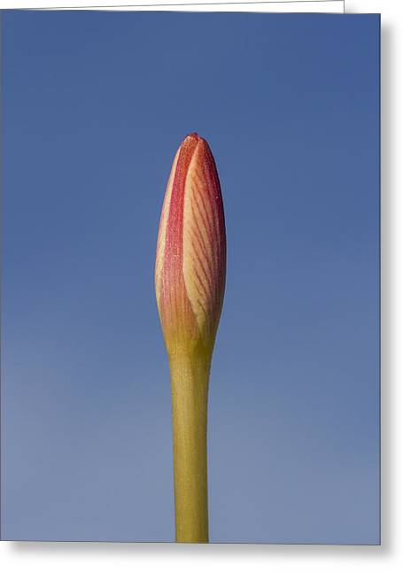 Rain-lily Bud Greeting Card