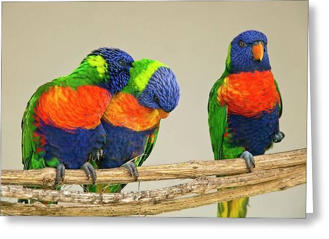 Rainbow Lorikeets Greeting Card by Bob Gibbons