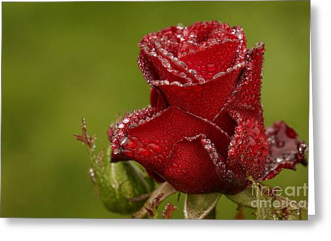Raindrops On Roses Greeting Card by Inge Riis McDonald