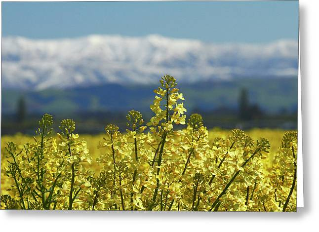 Rapeseed Field, Near Timaru, South Greeting Card by David Wall